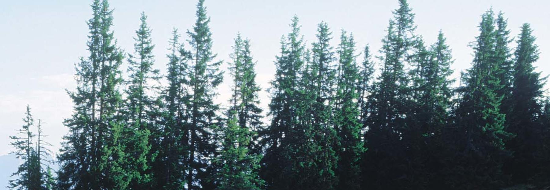 Atemberaubend 10 Nadelbäume, die man kennen muss   Blühendes Österreich &UW_67