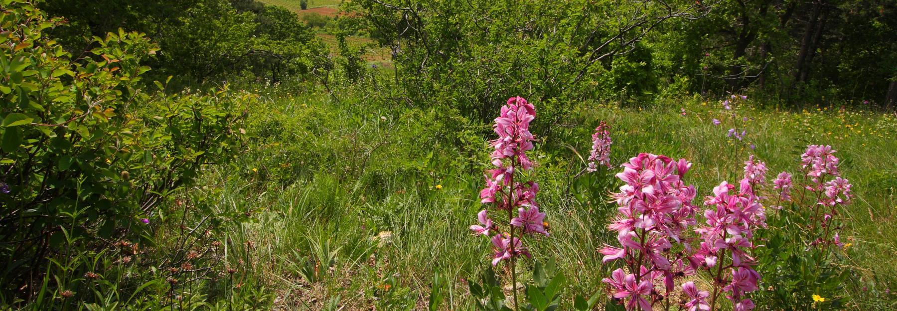 Flora Region Thermenlinie Wiener Becken Niederosterreich Bluhendes Osterreich