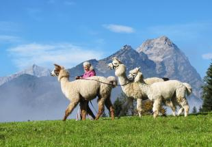 no reuse 20 mit alpakas lamas in die berge