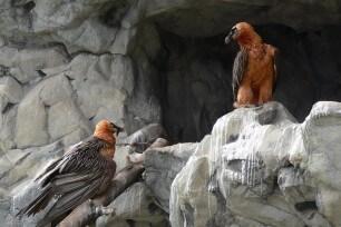 Bartgeierpaar am Horst c Nationalpark Hohe Tauern Michael Knollseisen
