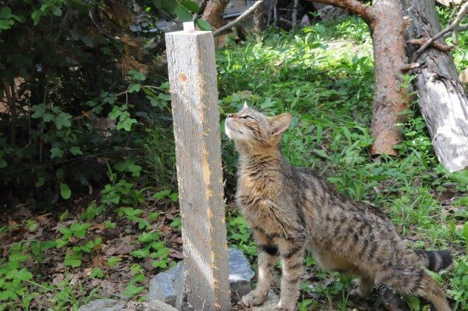 Das Thayatal und seine Wildkatzen (c) NP Thayatal Ch. Übl