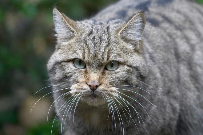 Das Thayatal und seine Wildkatzen (c) NP Thayatal D. Manhart