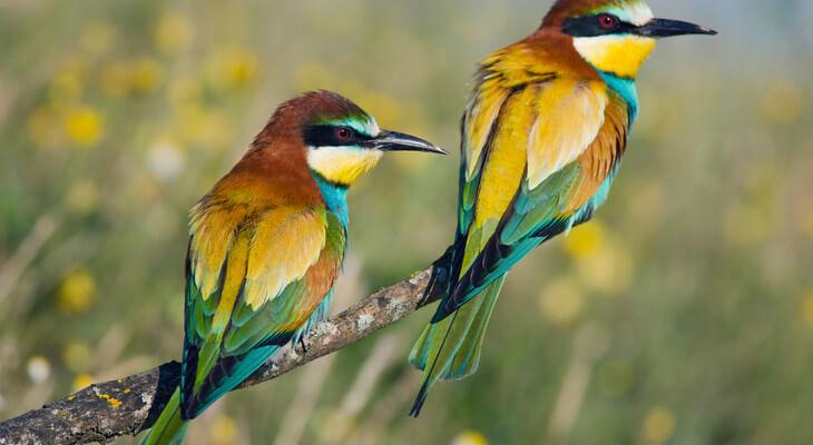 Der seltene Bienenfresser ist durch seine tropisch anmutende Farbgebung sehr auffällig.