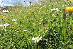 Magerwiesen beheimaten eine bunte Pflanzenvielfalt (Margerite, Leuenzahn, Klappertopf, Ruchgras, Goldhafer, Rot-Klee & Co) und damit auch viele Bienen & weitere Tiere.