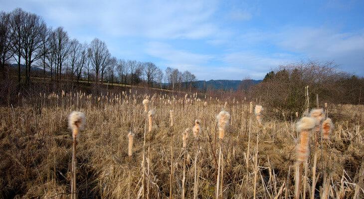 In Großseggenriedern wie hier im Waldviertel gedeihen Sauergräser und hübscher Rohrkolben.