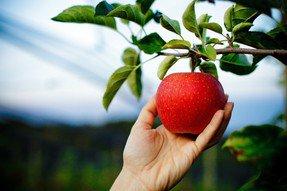 Die handgepflückten Äpfel der OPST GmbH sind die Garantie für höchste Qualitätsansprüche.
