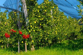 Eine Golden Delicious Apfelanlage vor der Ernte neben einem blühender Rosenstock.