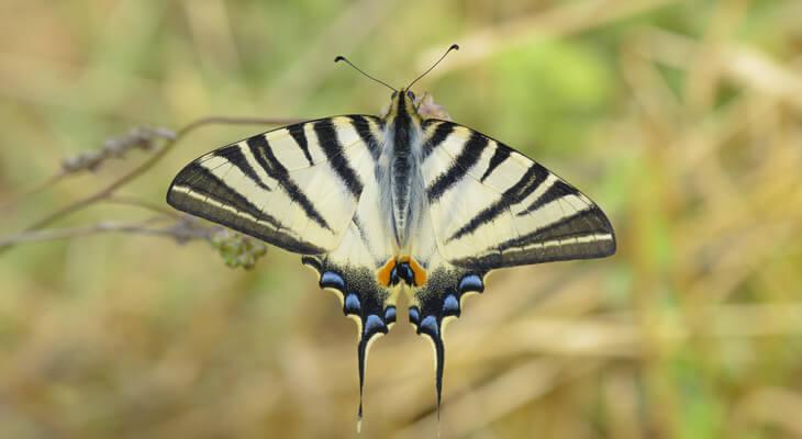 Der auffällige Segelfalter ist gelb-schwarz gestreift und trägt blaue langgezogene Flügelenden.