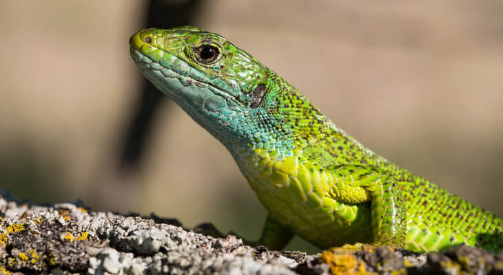 Die Smaragdeidechse trägt ihren Namen zurecht durch die intensiv blaugrüne Kopffärbung.