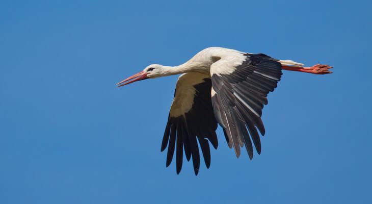 Mit seinen langen breiten Flügeln ist der Weißstorch ein guter Langstreckenflieger.