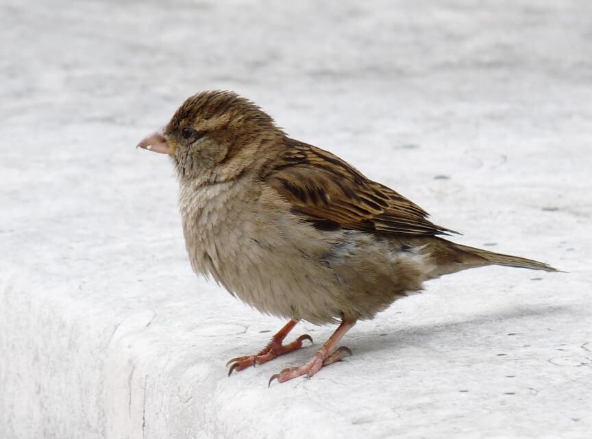 Spatz c BirdLife