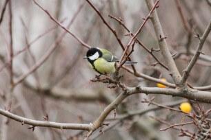 Kohlmeise c BirdLife