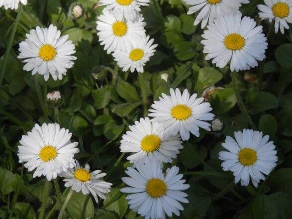 Wildkräuter Gänseblümchen c Karoline Grün