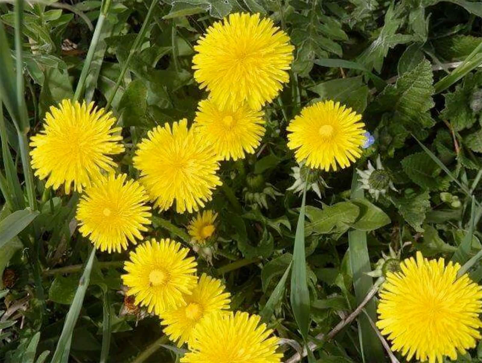 10 Essbare Wildpflanzen Fur Korper Und Geist Bluhendes Osterreich
