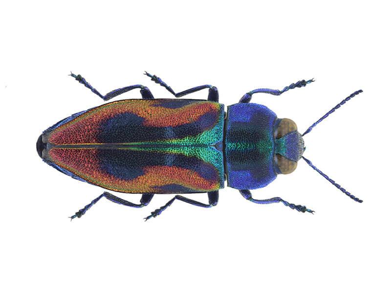 Käfer Bunter Kirschprachtkaefer Anthaxia candens