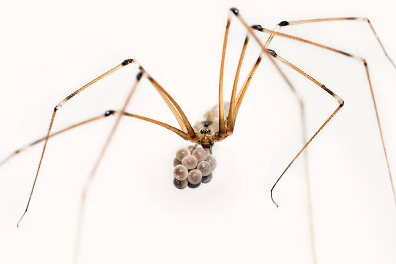 spinnen Große Zitterspinne Pholcus phalangioides