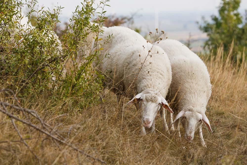 Schafe bei Familie Zillner