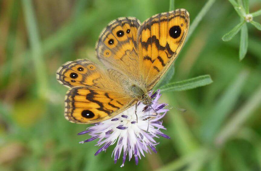 Schmetterling Mauerfuchs