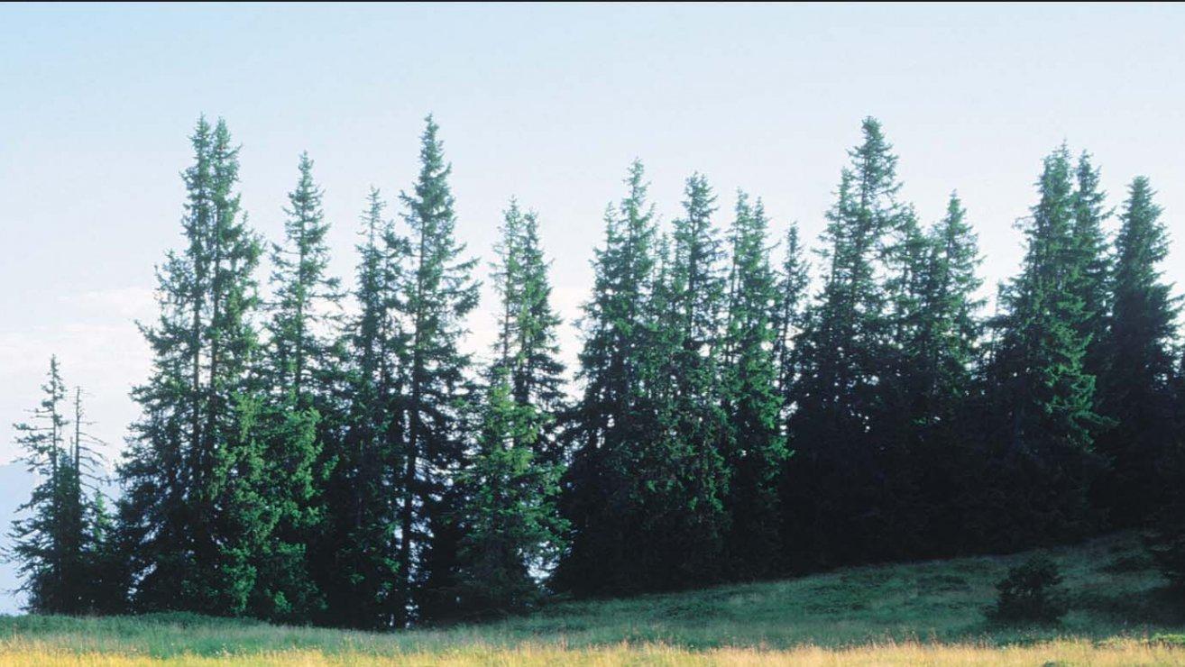 10 Nadelbaume Die Man Kennen Muss Bluhendes Osterreich