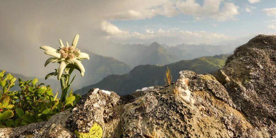 Edelweiss Pflanze in den Alpen