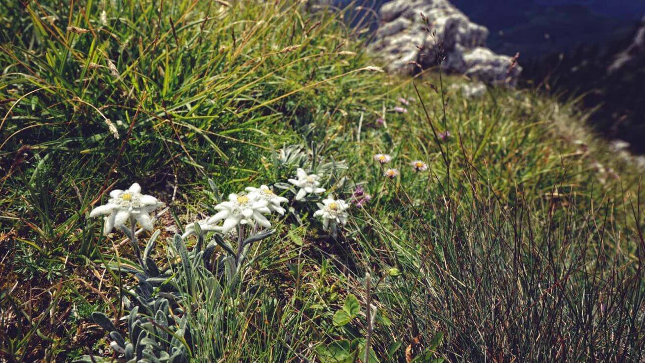 Die Edelweiß Pflanze unter Naturschutz
