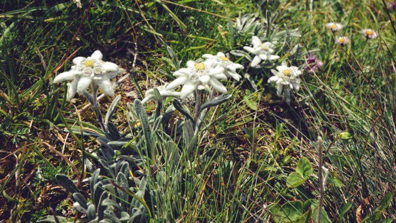 Die Edelweiß Pflanze steht unter Naturschutz