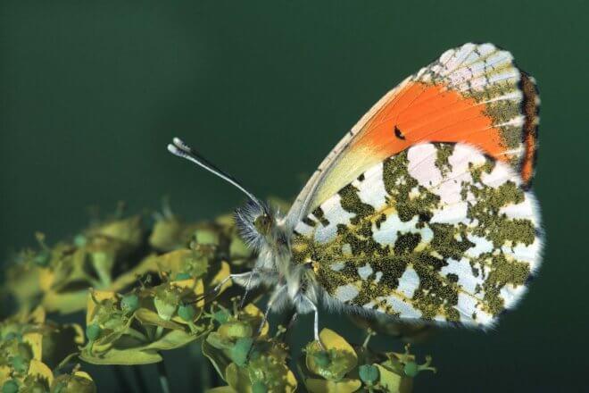 Aurorafalter: Heimische Schmetterlinge Aurorafalter
