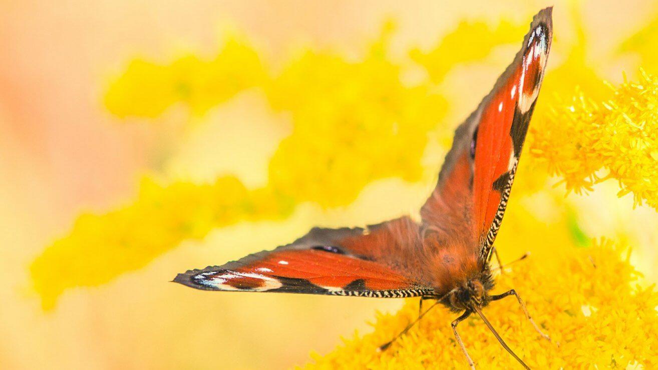 Schmetterlinge bestimmen: Tagpfauenauge