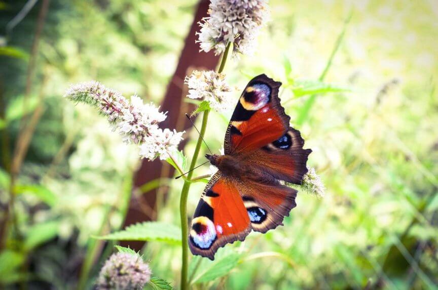 Heimische Schmetterlinge: Tagpfauenauge