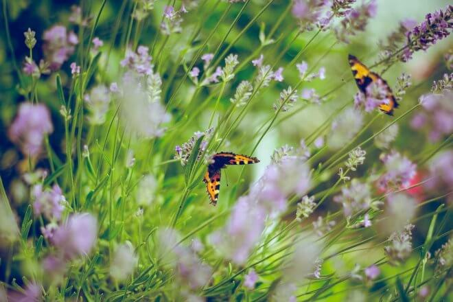 Heimische Schmetterlinge machen unsere Wiesen bunter