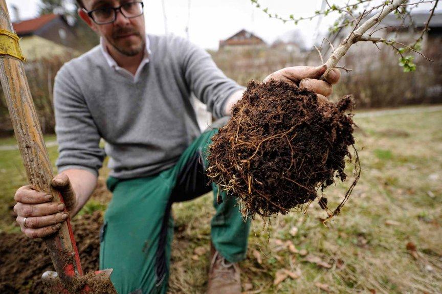 Heckenpflanze einsetzen
