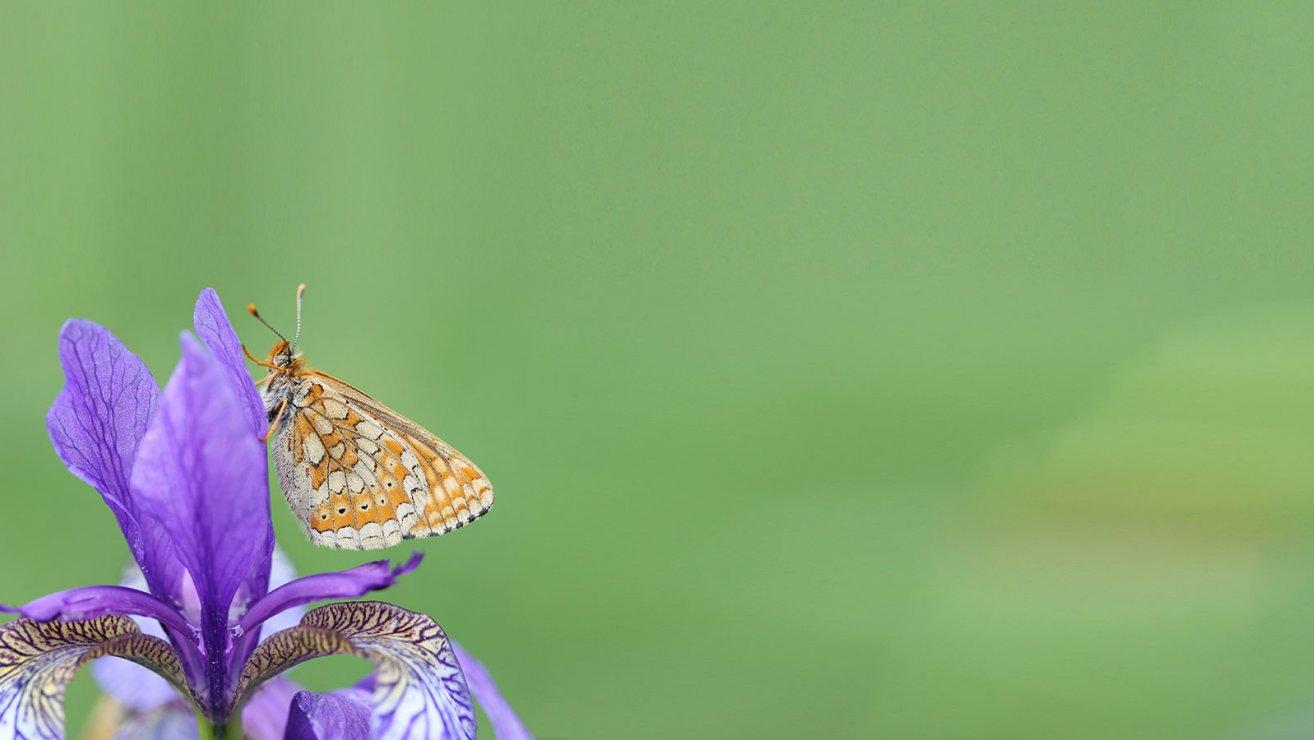 Schmetterlinge - Goldener Scheckenfalter