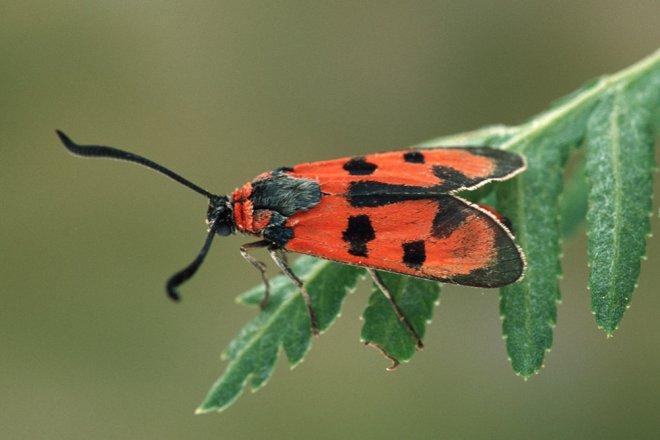 Schmetterlinge Blutstroepfchen