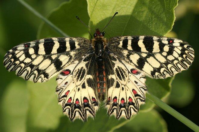 Schmetterlinge Osterluzeifalter