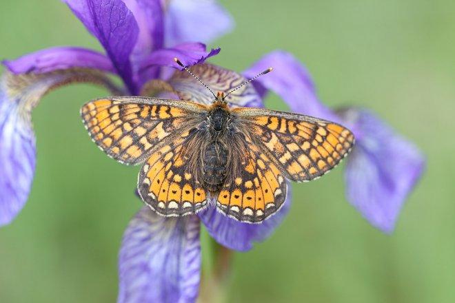 Schmetterlinge: Goldener Scheckenfalter