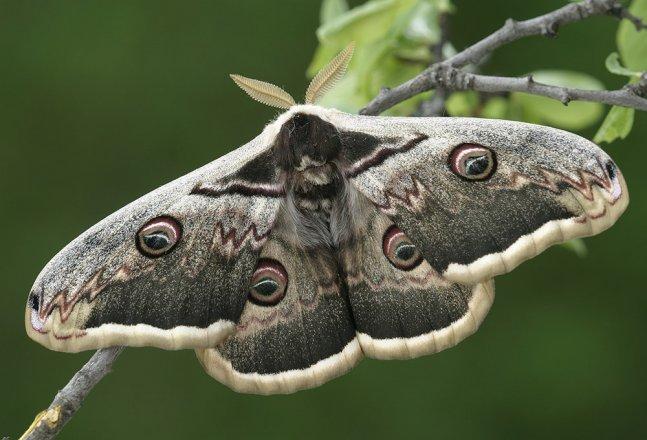 Schmetterlinge: Wiener Nachtpfauenauge