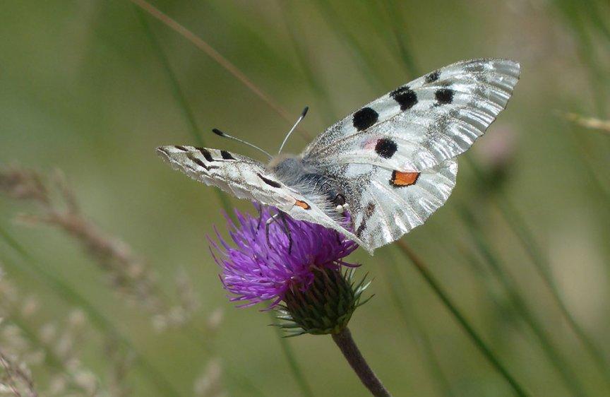 Schmetterling Apollofalter