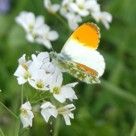 Aurorafalter mit Schmetterlingsapp bestimmen