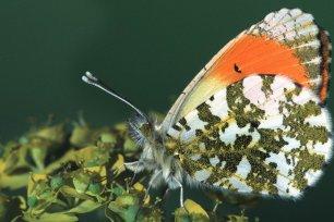 Schmetterlinge im Fruehling - der Aurorafalter
