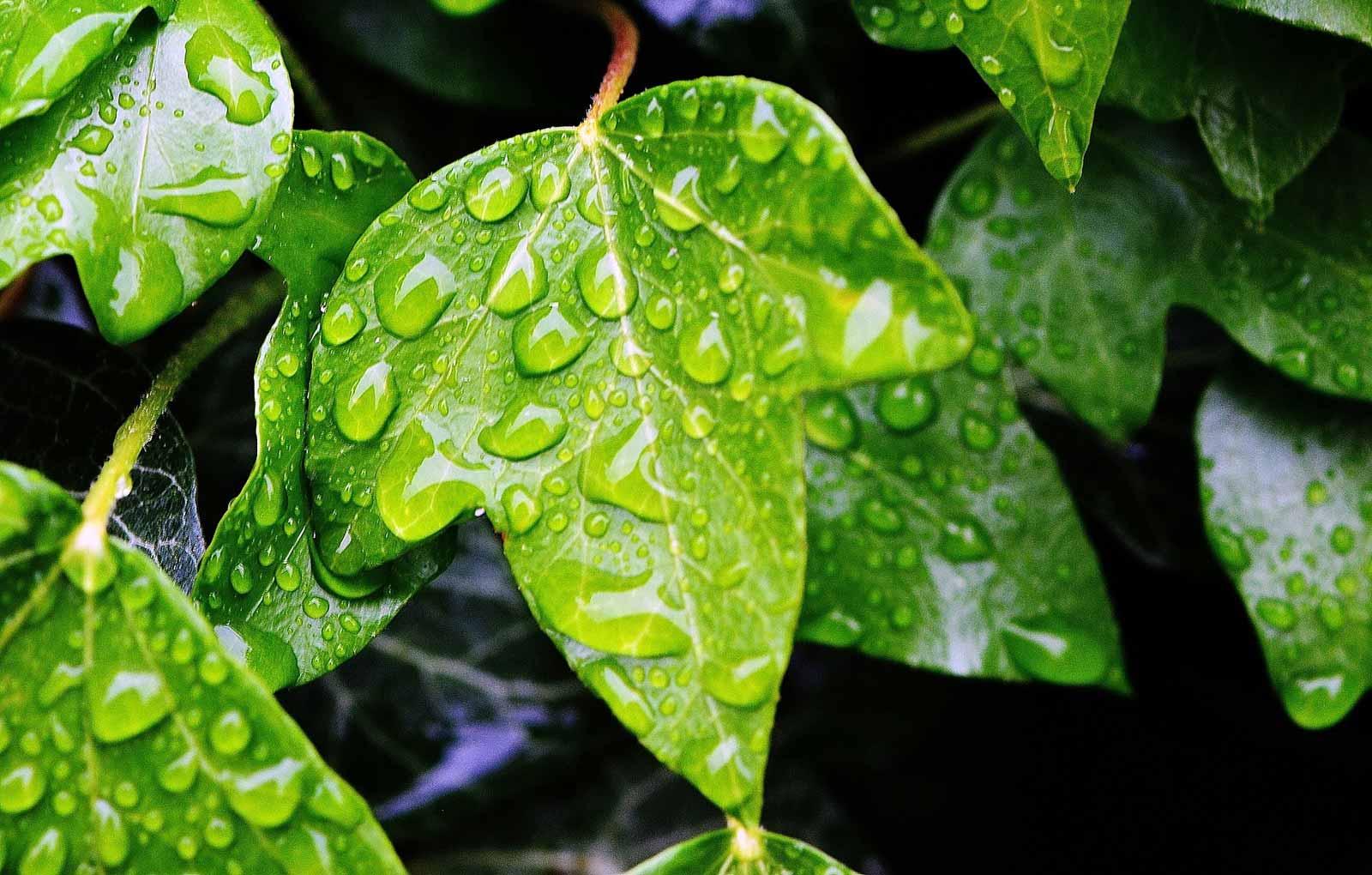 immergruene Pflanzen Efeu