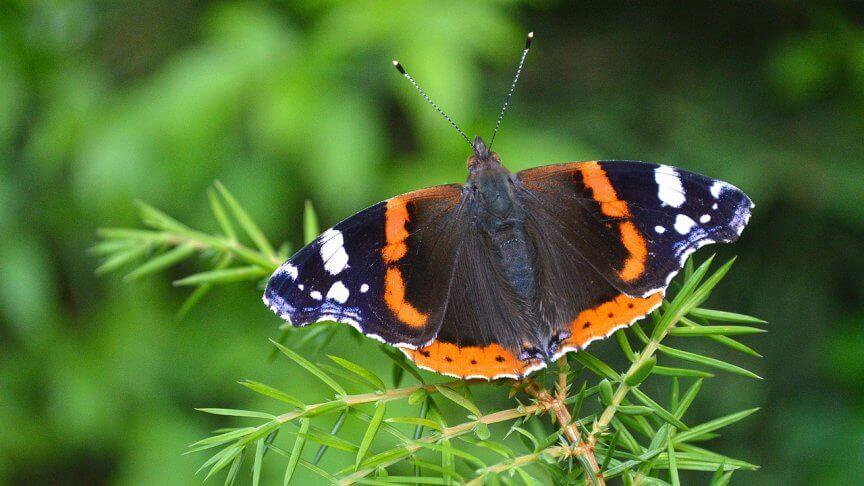 Schmetterlinge bestimmen: Admiral