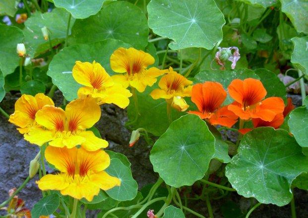 Futter Schmetterlingsraupen - Kapuzinerkresse
