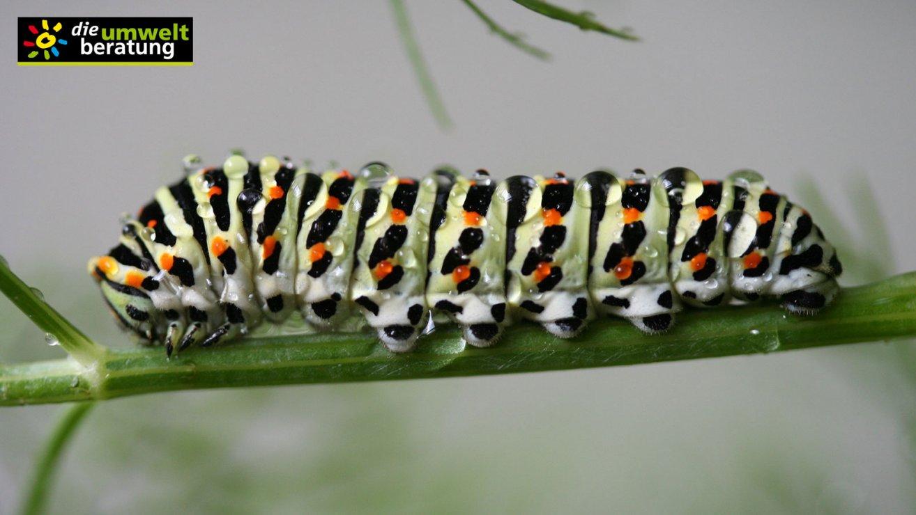 Schmetterlingsraupe Schwalbenschwanz