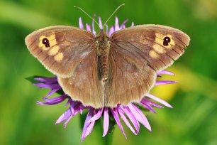 Schmetterlinge bestimmen: Großes Ochsenauge