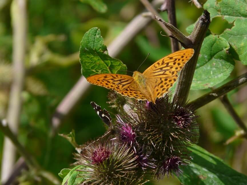 Schmetterlinge Bestimmen In Deinem Garten Bl 252 Hendes