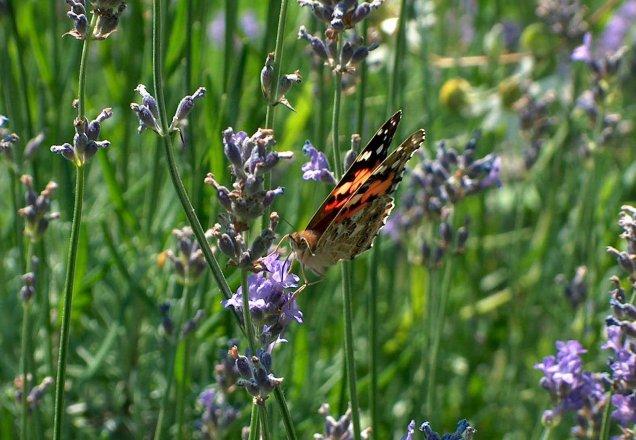 Lavendel für Schmetterlinge und ihre Raupen