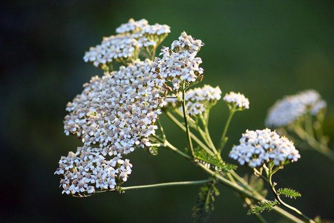 Typische Wiesenblume - Gemeine Schafgarbe