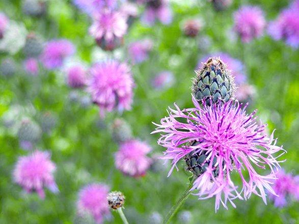 Wiesen-Flockenblume im Fokus