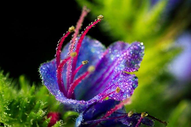 Wiesenblume Gewoehnlicher Natternkopf