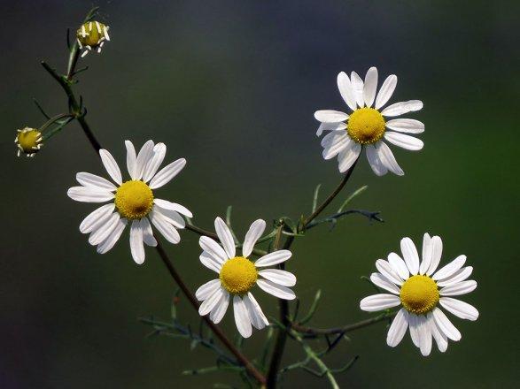 Wiesenblume Kamille